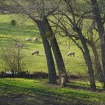A picture of sheep close up at The Weir