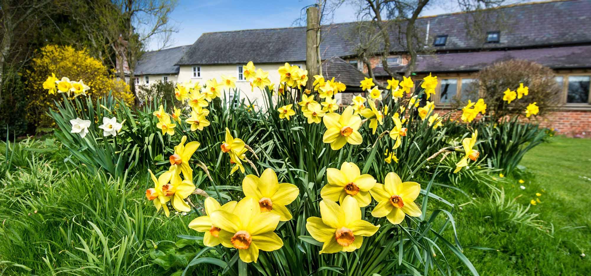 Lowe Farm Daffodils