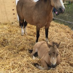 Picture of pony and Foal