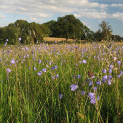 Harebells at Birches Farm - Credit David Lovelace