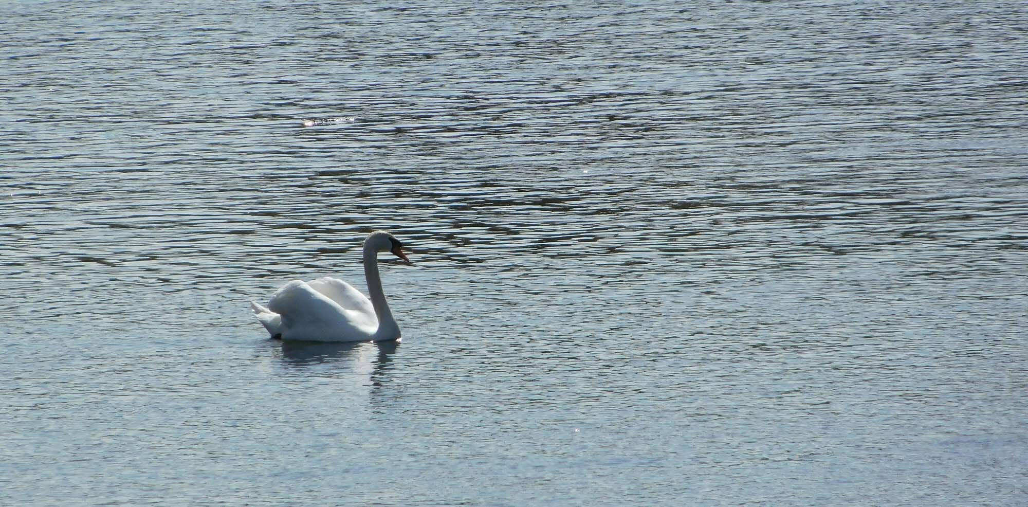 Swan on the river wye