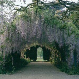Hampton Court Gardens Wisteri Arch