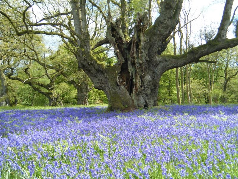 Ancient Tree and Bluebell Walk